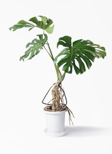 観葉植物 モンステラ 8号 根上り プラスチック鉢