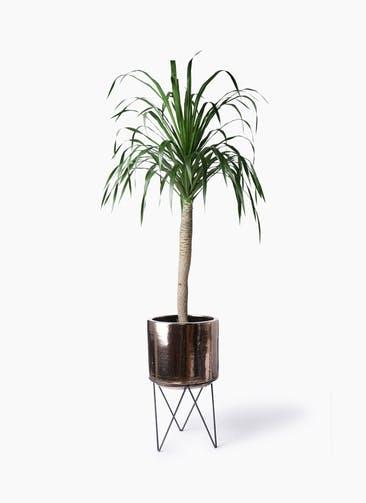 観葉植物 ドラセナ ドラコ 8号 ビトロ エンデカ ゴールド アイアンポットスタンド 付き