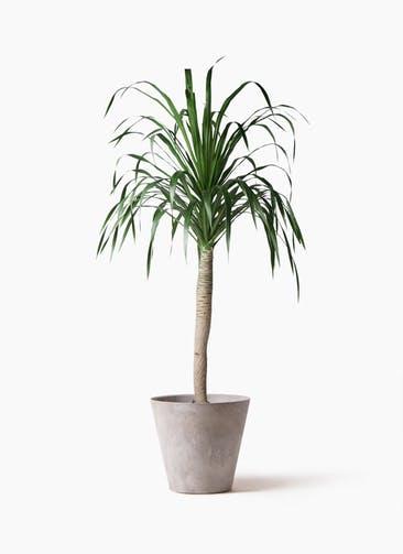 観葉植物 ドラセナ ドラコ 8号 アートストーン ラウンド グレー 付き