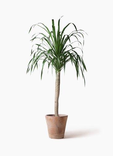 観葉植物 ドラセナ ドラコ 8号 ルーガ アンティコ ソリッド 付き