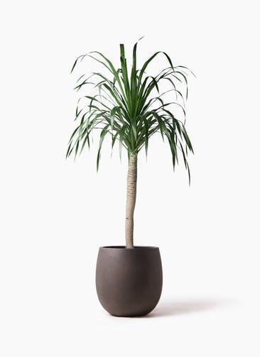 観葉植物 ドラセナ ドラコ 8号 テラニアス バルーン アンティークブラウン 付き