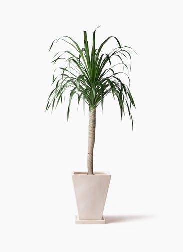 観葉植物 ドラセナ ドラコ 8号 スクエアハット 白 付き