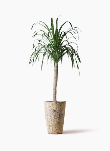 観葉植物 ドラセナ ドラコ 8号 アトランティス クルーシブル 付き