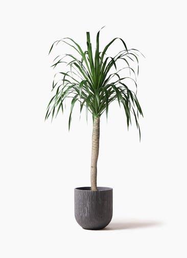観葉植物 ドラセナ ドラコ 8号 カルディナダークグレイ 付き