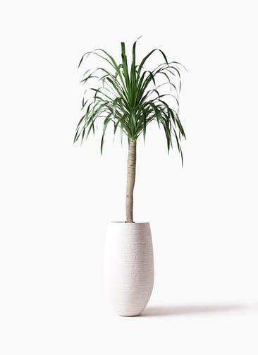 観葉植物 ドラセナ ドラコ 8号 フォンティーヌトール 白 付き