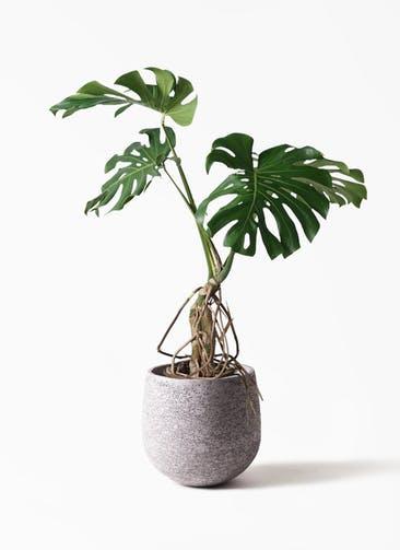 観葉植物 モンステラ 8号 根上り エコストーンGray 付き