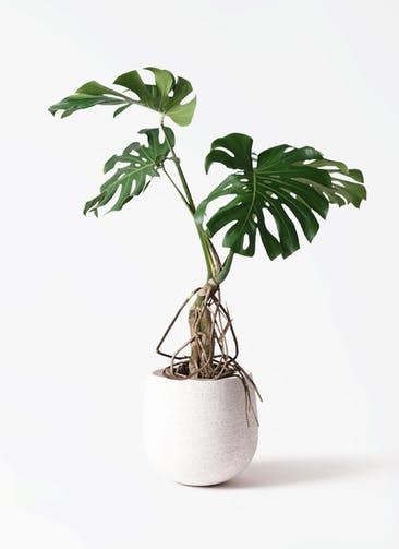 観葉植物 モンステラ 8号 根上り エコストーンwhite 付き