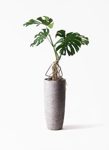 観葉植物 モンステラ 8号 根上り エコストーントールタイプ Gray 付き