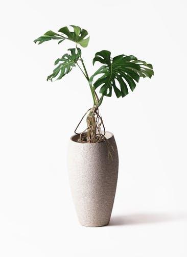 観葉植物 モンステラ 8号 根上り エコストーントールタイプ Light Gray 付き
