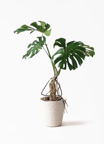 観葉植物 モンステラ 8号 根上り ビアスソリッド 白 付き