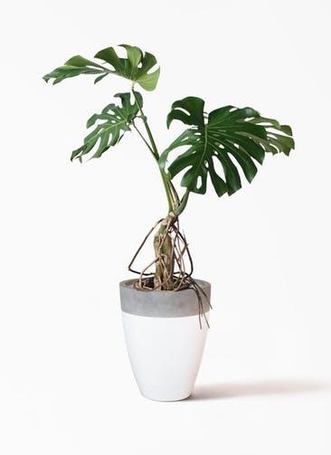 観葉植物 モンステラ 8号 根上り ファイバーストーンカプリ 白 付き