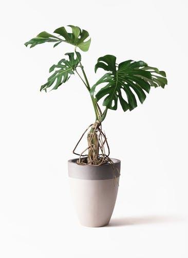 観葉植物 モンステラ 8号 根上り ファイバーストーンカプリ サンディホワイト 付き