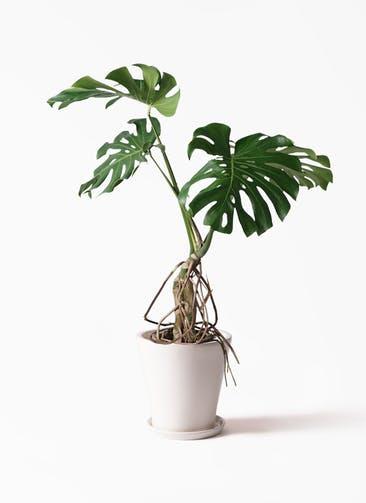 観葉植物 モンステラ 8号 根上り サブリナ 白 付き