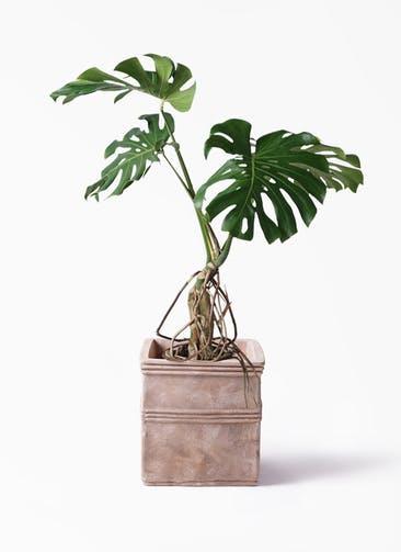 観葉植物 モンステラ 8号 根上り テラアストラ カペラキュビ 赤茶色 付き