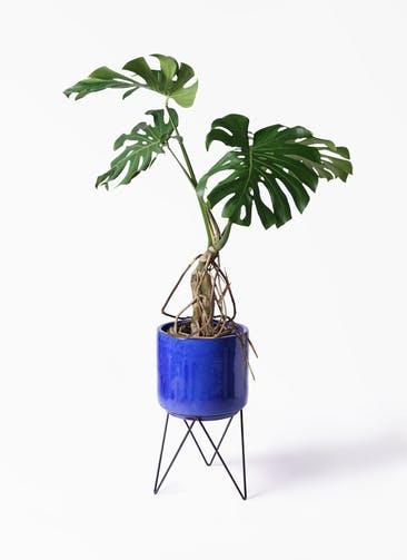 観葉植物 モンステラ 8号 根上り ビトロ エンデカ ブルー アイアンポットスタンド 付き