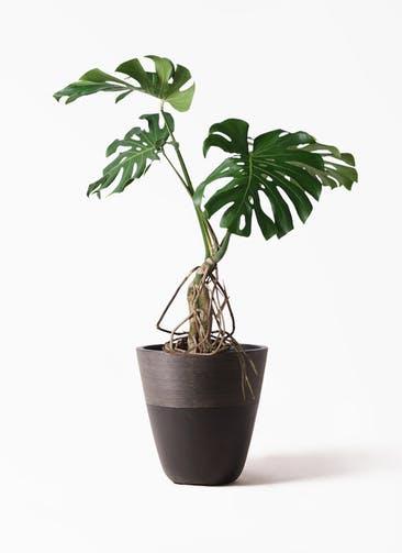観葉植物 モンステラ 8号 根上り ジュピター 黒 付き
