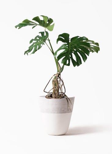 観葉植物 モンステラ 8号 根上り ジュピター 白 付き