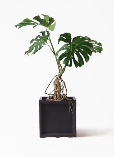 観葉植物 モンステラ 8号 根上り ブリティッシュキューブ 付き