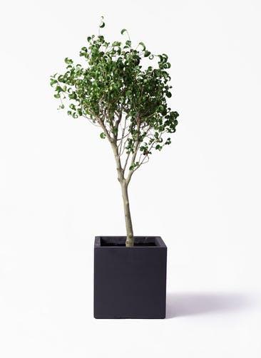 観葉植物 フィカス ベンジャミン 8号 シタシオン ベータ キューブプランター 黒 付き