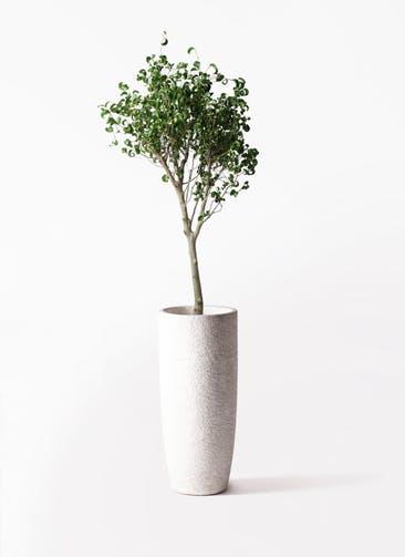 観葉植物 フィカス ベンジャミン 8号 シタシオン エコストーントールタイプ white 付き