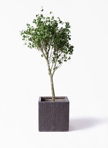 観葉植物 フィカス ベンジャミン 8号 シタシオン ベータ キューブプランター ウッド 茶 付き
