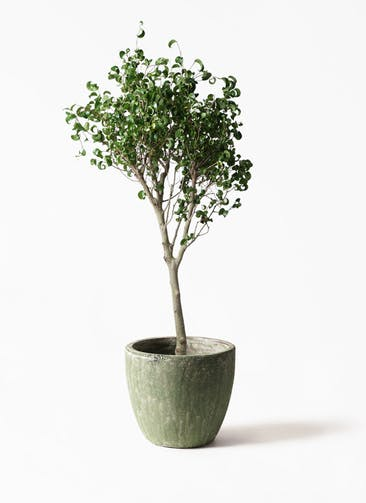 観葉植物 フィカス ベンジャミン 8号 シタシオン アビスソニアミドル 緑 付き