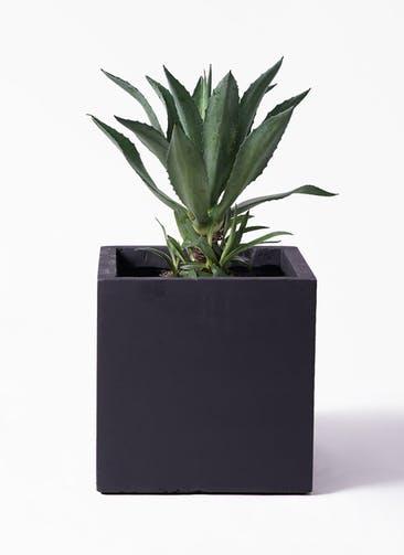 観葉植物 アガベ 8号 アメリカーナ ベータ キューブプランター 黒 付き