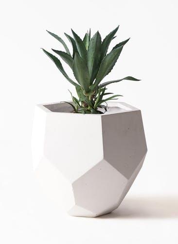 観葉植物 アガベ 8号 アメリカーナ ポリゴヘクサ 白 付き