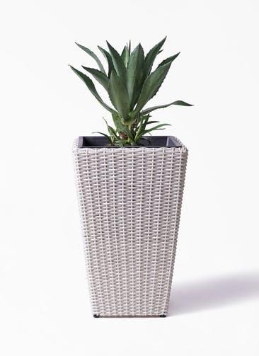 観葉植物 アガベ 8号 アメリカーナ ウィッカーポット スクエアロング OT 白 付き