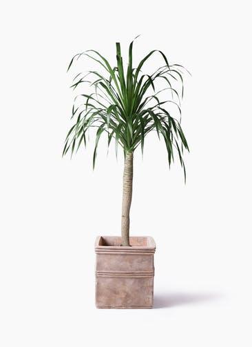 観葉植物 ドラセナ ドラコ 8号 テラアストラ カペラキュビ 赤茶色 付き