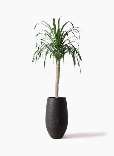 観葉植物 ドラセナ ドラコ 8号 フォンティーヌトール 黒 付き
