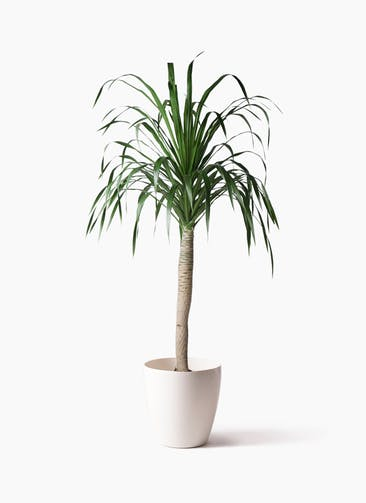 観葉植物 ドラセナ ドラコ 8号 ラスターポット 付き