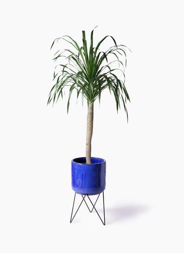 観葉植物 ドラセナ ドラコ 8号 ビトロ エンデカ ブルー アイアンポットスタンド 付き