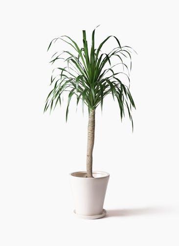 観葉植物 ドラセナ ドラコ 8号 サブリナ 白 付き