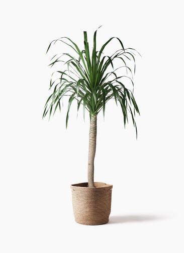 観葉植物 ドラセナ ドラコ 8号 リブバスケットNatural 付き