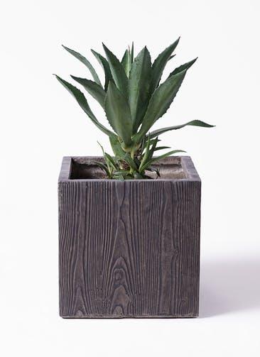 観葉植物 アガベ 8号 アメリカーナ ベータ キューブプランター ウッド 茶 付き
