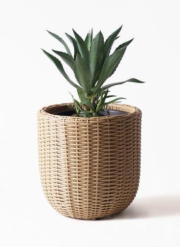 観葉植物 アガベ 8号 アメリカーナ ウィッカーポットエッグ ベージュ 付き
