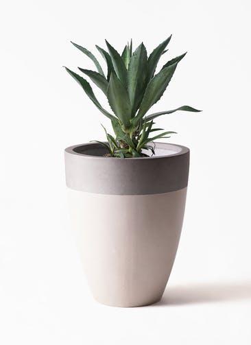 観葉植物 アガベ 8号 アメリカーナ ファイバーストーンカプリ サンディホワイト 付き