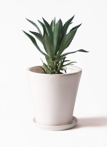観葉植物 アガベ 8号 アメリカーナ サブリナ 白 付き