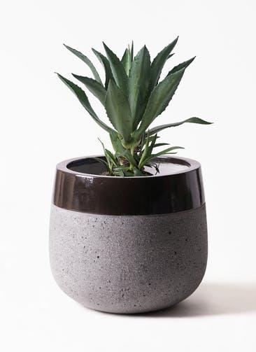 観葉植物 アガベ 8号 アメリカーナ ファイバーストーンタウルス 黒 付き