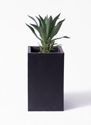観葉植物 アガベ 8号 アメリカーナ セドナロング 墨 付き