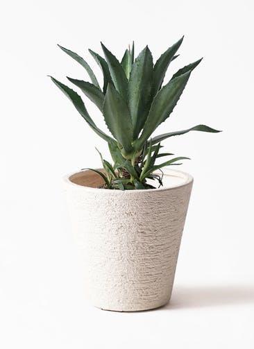 観葉植物 アガベ 8号 アメリカーナ ビアスソリッド 白 付き
