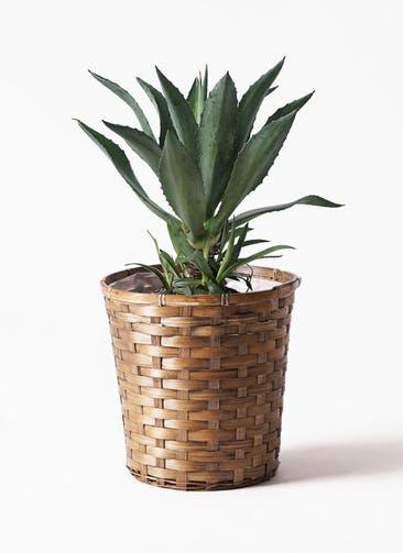 観葉植物 アガベ 8号 アメリカーナ 竹バスケット 付き