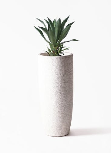 観葉植物 アガベ 8号 アメリカーナ エコストーントールタイプ white 付き