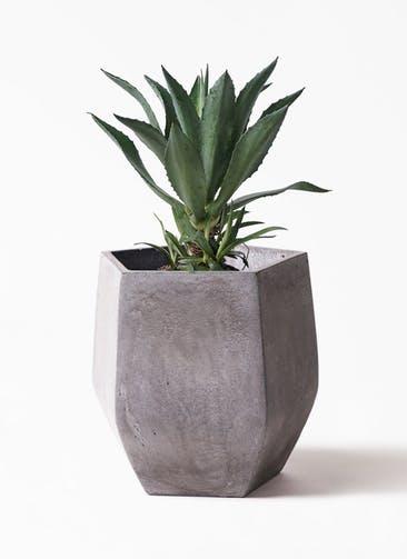 観葉植物 アガベ 8号 アメリカーナ ファイバークレイ Gray 付き