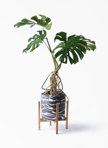 観葉植物 モンステラ 8号 根上り ホルスト シリンダー マーブル ウッドポットスタンド付き