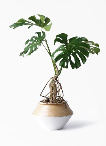 観葉植物 モンステラ 8号 根上り アルマジャー 白
