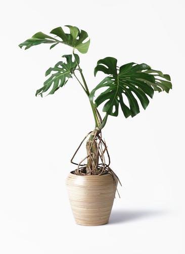 観葉植物 モンステラ 8号 根上り アルマ ミドル 付き
