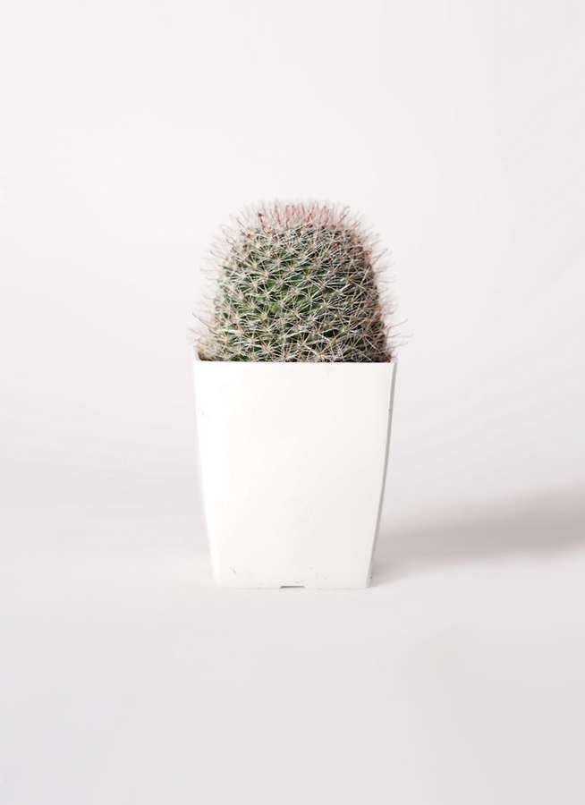 サボテン マミラリア 月影丸(つきかげまる) 3号 プラスチック鉢
