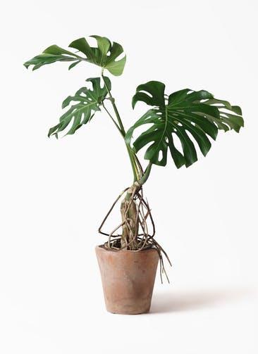 観葉植物 モンステラ 8号 根上り ルーガ アンティコ ソリッド 付き